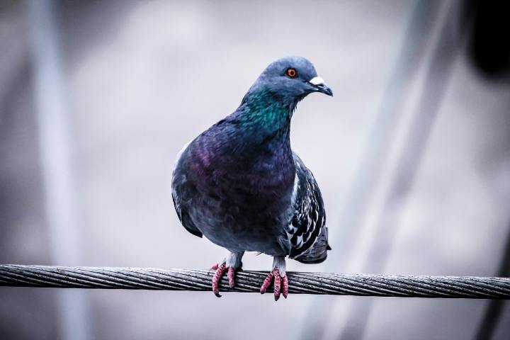 Pigeon English by David Cook